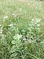 Cyanthillium cinereum' 09.jpg