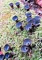 Cyathus striatus (Huds.) Willd 687834.jpg