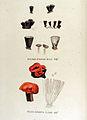 Cyathus striatus — Flora Batava — Volume v15.jpg