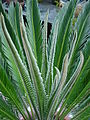 Cycas revoluta 015.jpg