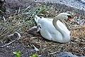 Cygnus olor (Küken) - Arboretum 2011-05-30 19-57-50.JPG