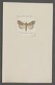 Cymatophora - Print - Iconographia Zoologica - Special Collections University of Amsterdam - UBAINV0274 056 09 0008.tif