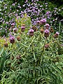 Cynara cardunculus, Easton Lodge Gardens, Little Easton, Essex, England 1.jpg