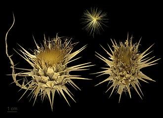 Cardoon - Image: Cynara cardunculus MHNT.BOT.2012.10.18