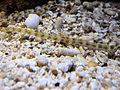 DSC28111, Pipefish, Monterey Bay Aquarium, Monterey, California, USA (4963684655).jpg