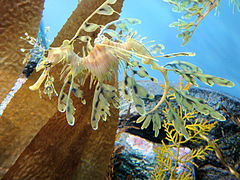 DSC28212, Leafy Sea Dragon, Monterey Bay Aquarium, Monterey, California, USA (8315353423).jpg