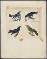Dacnis cayana - 1820-1860 - Print - Iconographia Zoologica - Special Collections University of Amsterdam - UBA01 IZ19000371.tif