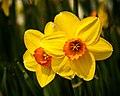 Daffodils (17797924449).jpg