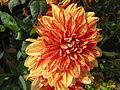 Dahlia au jardin des iris 3.JPG