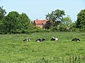 Dairy cattle resting in the midday sun - geograph.org.uk - 1330099.jpg