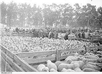 Dalgety plc - Dalgety auction 10,000 sheep Jamestown SA 1916