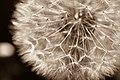 Dandelion in Sepia (2596735039).jpg