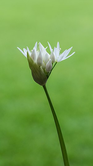 Allium ursinum. Small delicate flowers and flower buds on a slender stem.