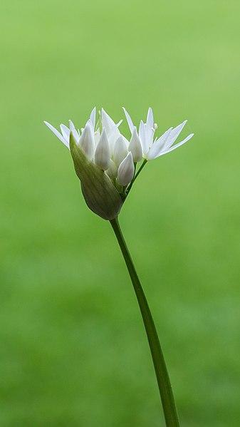 File:Daslook (Allium ursinum) d.j.b 02.jpg