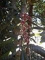Davidsonia pruriens flowers.jpg
