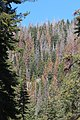 Dead and Dying Trees in the Sierra National Forest (38181226744).jpg