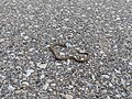 Dead snake on a trail - 20190913.jpg