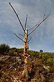 Dead tree standing still (8372521925).jpg