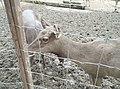 Deer in Zoo Negara Malaysia (14).jpg