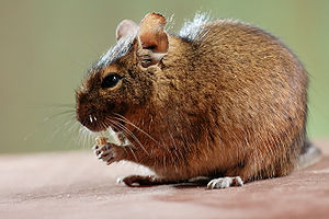 Octodontidae - Common degu, Octodon degus