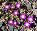 Delosperma sutherlandii in Dunedin Botanic Garden 01.jpg