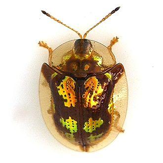 Cassidinae - Image: Deloyala guttata Mottled Tortoise Beetle