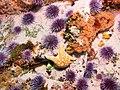 Dermasterias imbricata and Strongylocentrotus purpuratus (26761694860).jpg