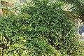 Derris trifoliata.jpg