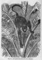 Descent of Man - Burt 1874 - Fig 77.png