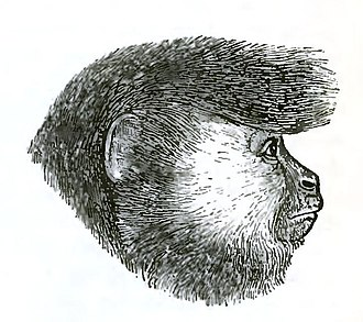 Ursine colobus - Image: Descent of Man Appleton 1875 Fig 076