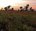 Desert Flower Fields (14378153985).jpg
