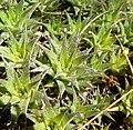 Deuterocohnia brevifolia 2.jpg
