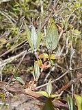 Deutzia gracilis 2017-04-17 7200.jpg