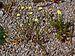 Dianthus knappi 001.JPG