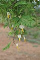 Dichrostachys cinerea (Fabaceae) (23817633373).jpg