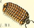 Die Myriapoden - getreu nach der Natur abgebildet und beschrieben (1863) (20311777914).jpg