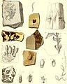 Die fossile Flora der Permischen Formation (1864) (20890057316).jpg