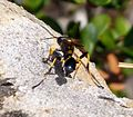 Digger Wasp. Sceliphron spirifex - Flickr - gailhampshire (1).jpg