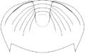 Dikelocephalus minnesotensis pygidium draw.png