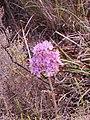 Dilatris ixioides Lam. IMG 7058.jpg