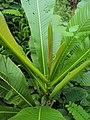 Dillenia pentagyna - Karmal - leaves at Peravoor 2014 (1).jpg