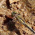 Diplacodes trivialis - Flickr - gailhampshire.jpg