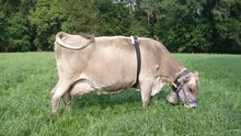 Plik:Do-Bells-Affect-Behaviour-and-Heart-Rate-Variability-in-Grazing-Dairy-Cows-pone.0131632.s006.ogv