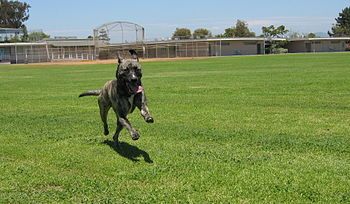 1 year old brindle Pit bull mix playing at Fle...