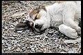 Dogs (5147886845).jpg
