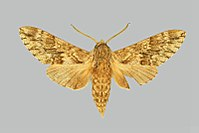 Dolbina grisea BMNHE274110 male up.jpg