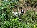Domestic goat in Agam, West Sumatra.jpg