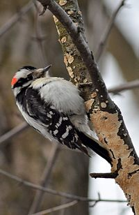 Downy Woodpecker (8481031038).jpg