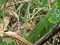 Dragonfly at Rajbiraj, Saptari, Nepal (3).jpg