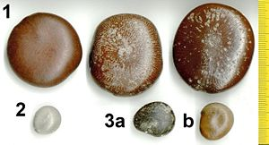 Drift seed - Drift seeds of three legume species found at Kanda on the southern Mozambique coast in May 2004: 1. Snuff box sea bean (Entada rheedii) 2. Grey nickernut (Caesalpinia bonduc) 3. a,b Colour forms of ox-eye beans (Mucuna gigantea)
